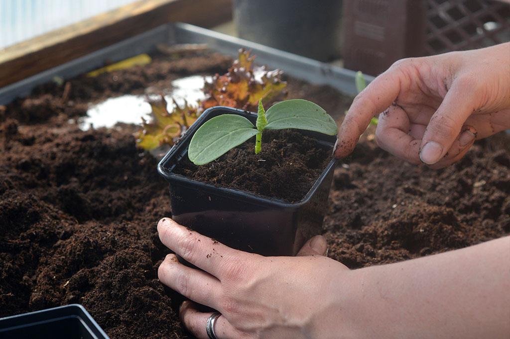 Använder du blomjord när du planterar om brukar det räcka med naring under veckorna fram tills det är dags för nästa omplantering. Foto: Markus Danielsson