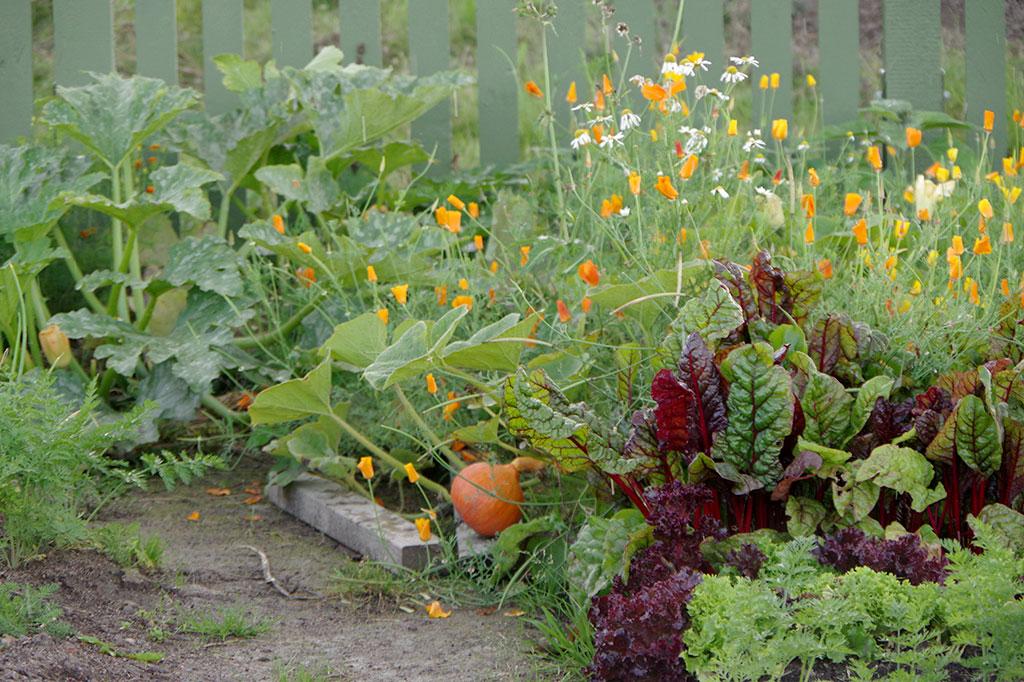 En odling på friland, där det redan växer en hel del, brukar kräva lite mer ogräsrensning i början. Ju fler sorter du odlar, desto fler växter lär du dig känna igen. Foto: Lovisa Back