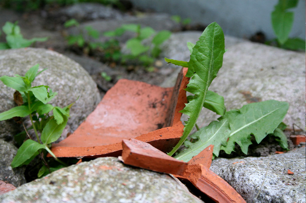 Ogräs maskros rensa huvudbild Markus Danielsson