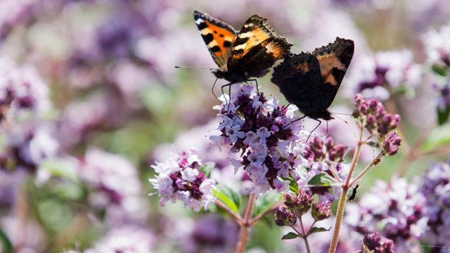 Oreganons blommor lockar fjärilar. Foto: Annika Christensen