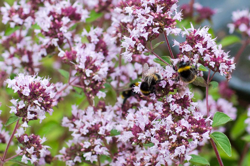 Oreganons blommor lockar bin och andra pollinerare. Foto: Annika Christensen