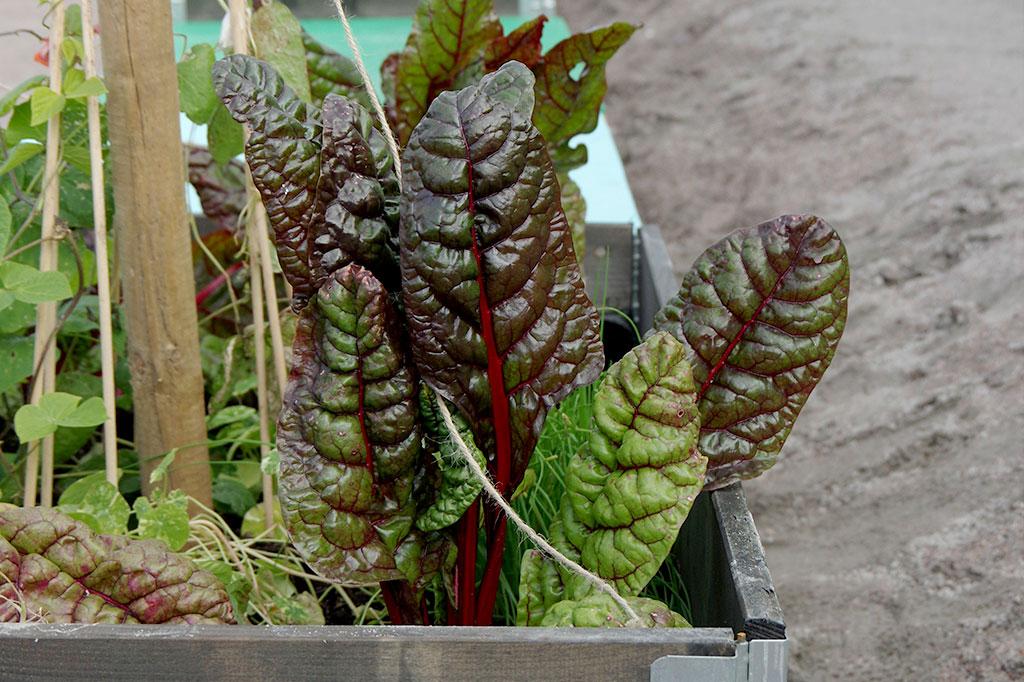 Ibland finns utrymmet – men inte jorden – för att odla. Då kan upphöjda pallkragar vara en lösning. Foto: Lovisa Back