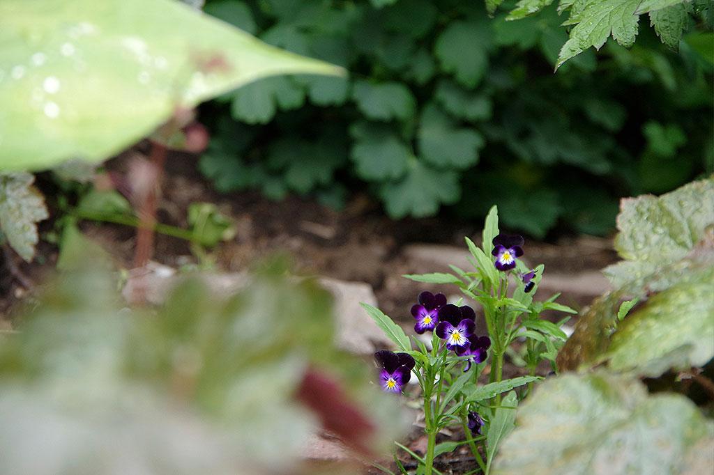 Vad är egentligen ett ogräs? En del av våra mest älskade trädgårdsväxter sprider sig villigt över hela trädgården. Många av våra vilda vänner är dessutom minst lika vackra (och goda) som de vi odlar själv. Foto: Lovisa Back