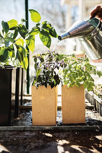 En jämn bevattning är A och O för många av våra växter. Foto: Klas Sjöberg