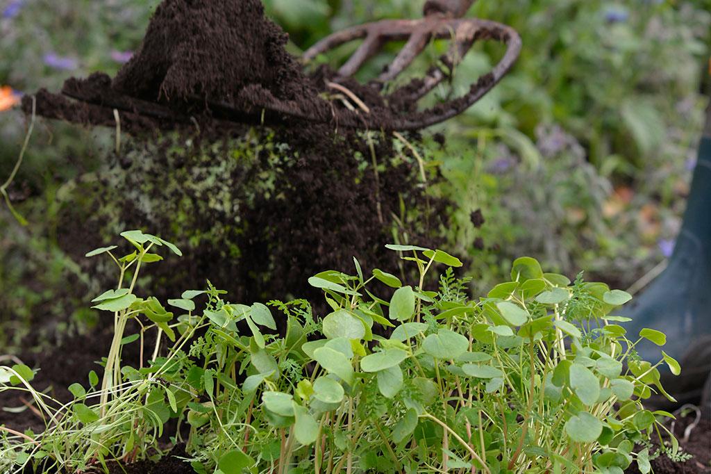 Om du sår gröngödselfrö några veckor innan utplantering av dina grönsaksplantor hinner det växa upp en grön matta som du sedan kan vända ner i jorden. Foto: Markus Danielsson