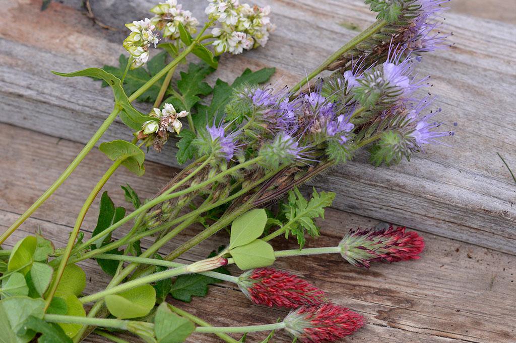 Bovete, honungsfacelia och blodklöver är vackra när de går i blom. Foto: Anna Lindeqvist