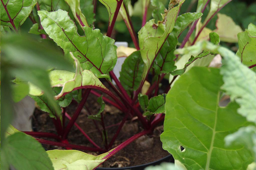 Det går utmärkt att så rödbetor – för skörd av såväl blad som rötter – under högsommaren. Foto: Lovisa Back