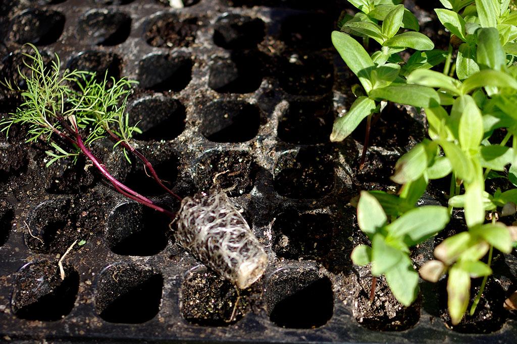 Enklast är att tömma hela pluggbrättet på en gång, men om du är du försiktig går det smidigt att peta upp en planta i taget och låta resten stå kvar. Foto: Lovisa Back