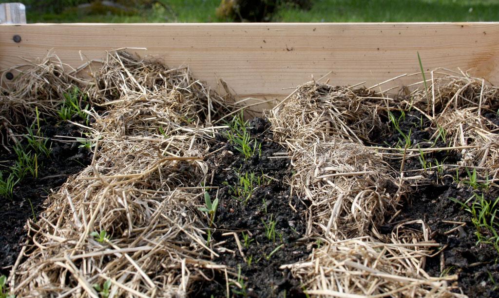 Visst går det att täcka jorden med organiskt material även i pallkrage. Foto: Thérése Larsson