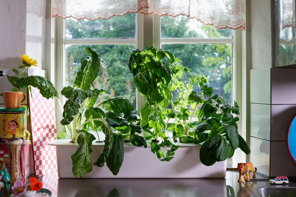 Om plantorna i din Harvy sjunger på sista versen kan det vara en god ide att skörda innan du åker på semestern. Ju fler och större blad, desto mer vatten går det åt. Foto: Peter Carlsson