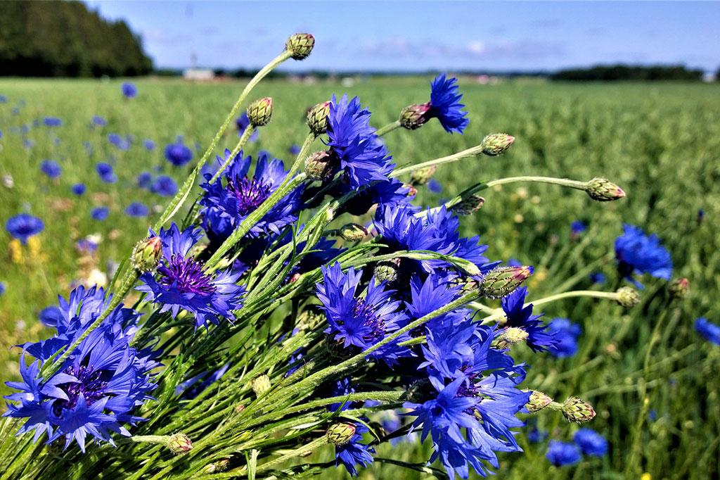 Blåklint växer ofta vid åkrar och är lättodlad i din trädgård.