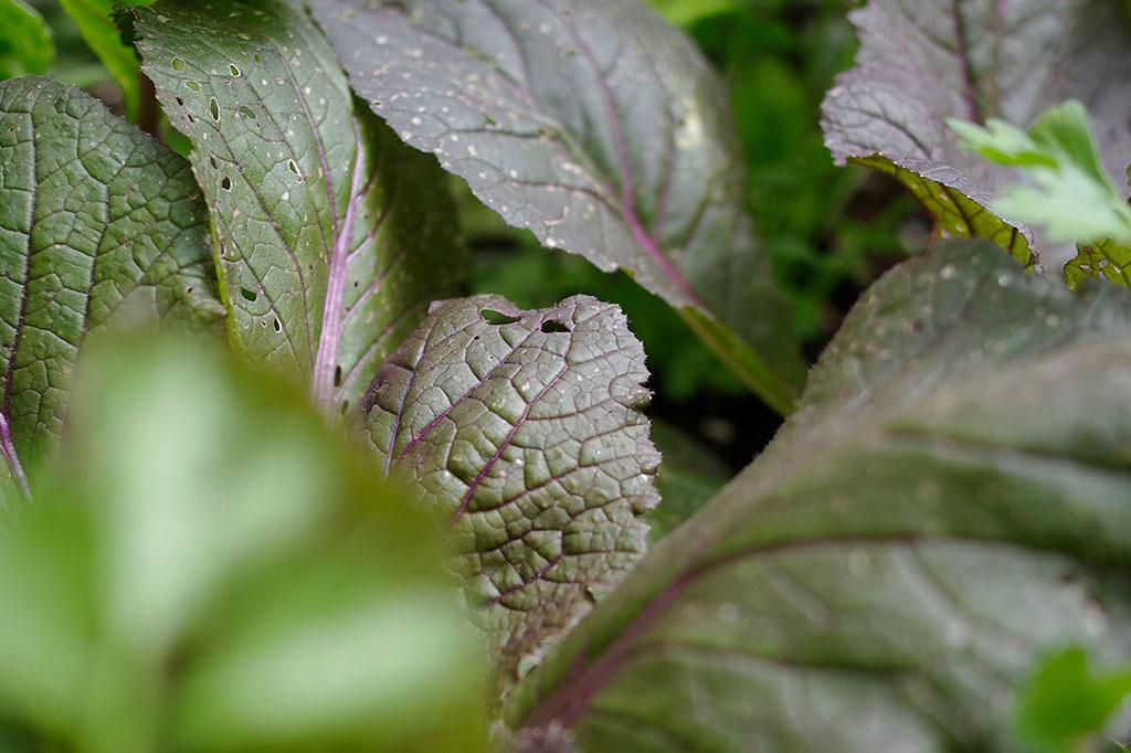 'Scarvita' F1 har mörkt lila blad. Ytterbladen har en mörkgrön ton, medan det knutna huvudet därunder bjuder på ännu mer lila. Foto: Lovisa Back