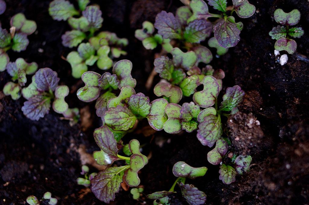 Sareptasenap – en av många snabbväxta kålväxter – i startgroparna.