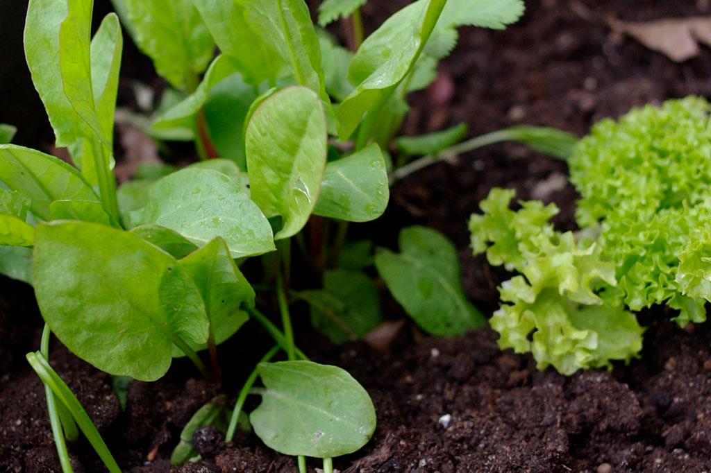 Flerårig trädgårdssyra tillsammans med snabbväxt plocksallat.