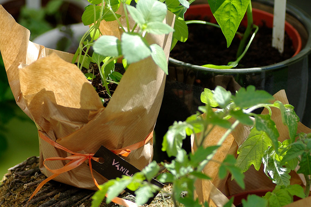 Har du möjlighet att så dina plantor redan innan du åker kan du ta med dig plantorna till sommarstugan. Basilika och andra kryddor tar liten plats. Foto: Lovisa Back