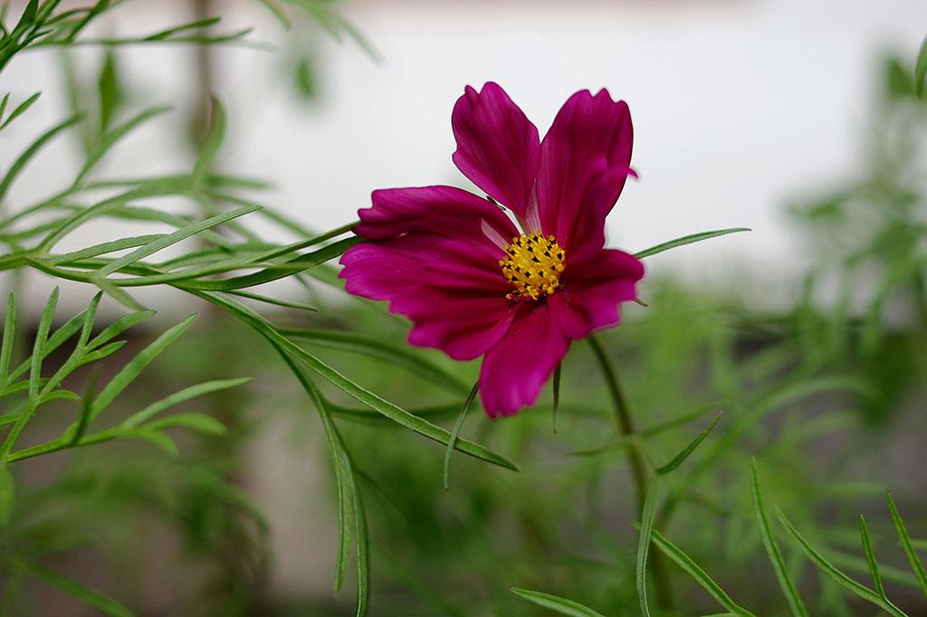 Rosenskära är en kortdagsväxt vars blomning styrs av dygnsrytmen. Foto: Lovisa Back
