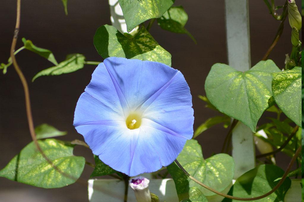 Blomman för dagen bör gödslas sparsamt – med för mycket näring blommar det inte. Foto: Markus Danielsson