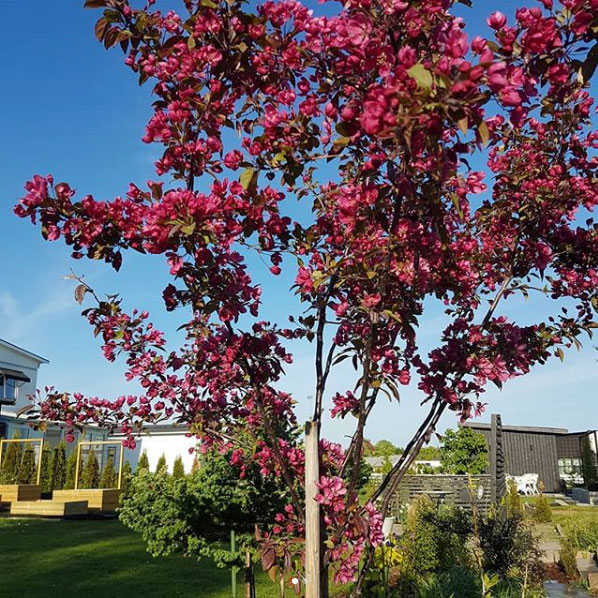 @sandywyrem njuter av blommorna hos en bedårande purpurapel. En färgklick i trädgården!