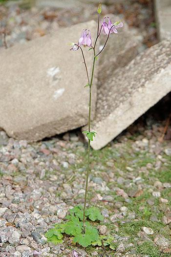 Aklejan hittar utrymme lite överallt, men tar inte särskilt stor plats och blommar otroligt vackert. Foto: Lovisa Back