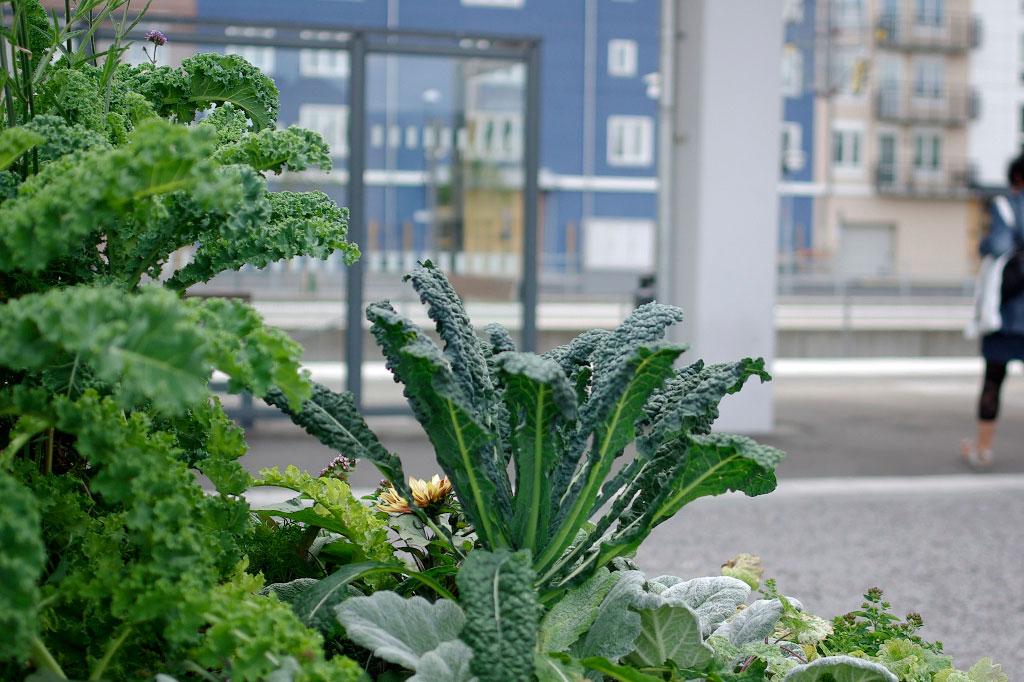 Grönsakerna håller ställning även i urnorna i Växjö kommun. Foto: Lovisa Back