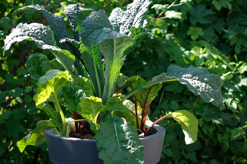 Svartkål, mangold och rödbetor går utmärkt att odla i kruka, även om skörden kan blir lite mindre. Foto: Lovisa Back