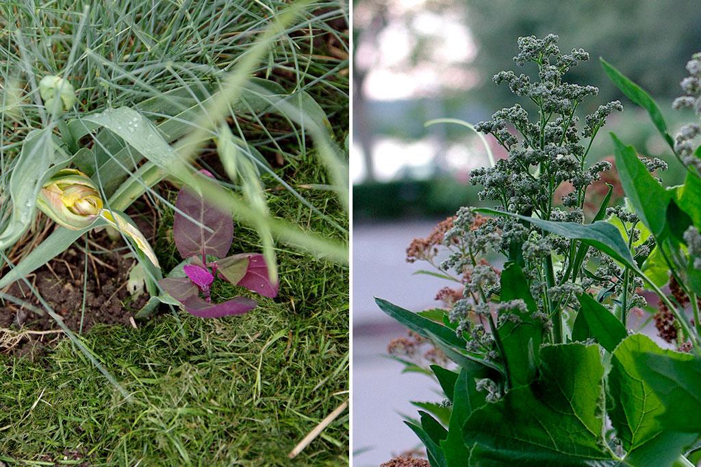 Trädgårdsmålla 'Rubra' (t.v.) är knappast kräsen med växtplatsen utan frösår sig villigt över hela trädgården. Den är lätt att känna igen. Även quinoa (t.h.) tillhör mållasläktet. Förutom sina karaktäristiska blad känner du igen dem genom de praktfulla fröställningarna. Foto: Lovisa Back