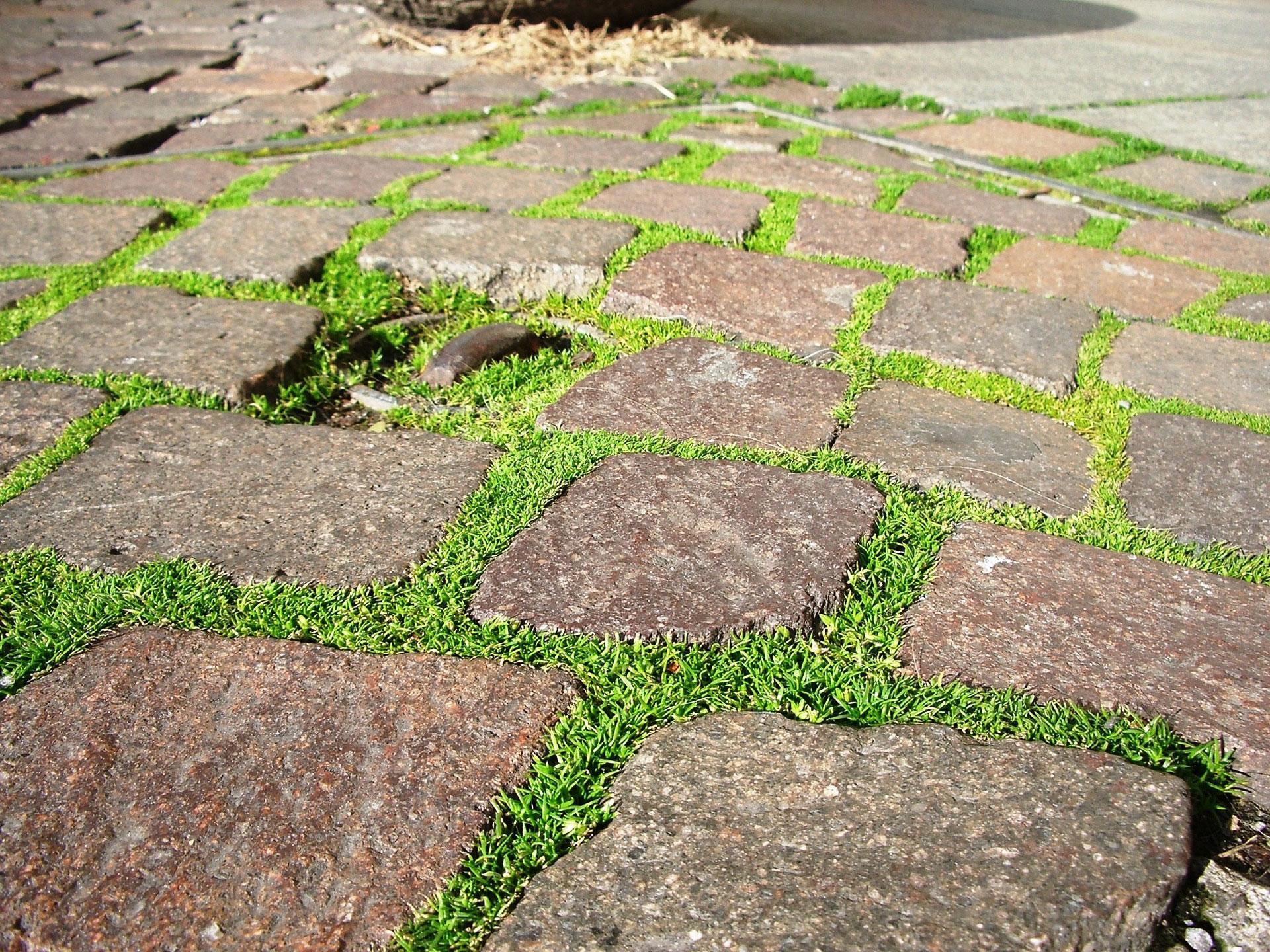 Slitstarkt foggräs är utmärkt som prydnad mellan stenplattor i trädgården.