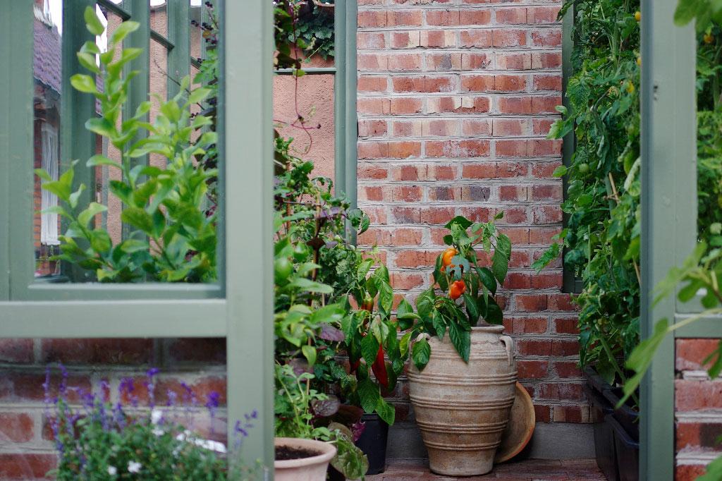 I växthuset ryms flera sorters tomater, malabarspenat, paprika och ett citrusträd.
