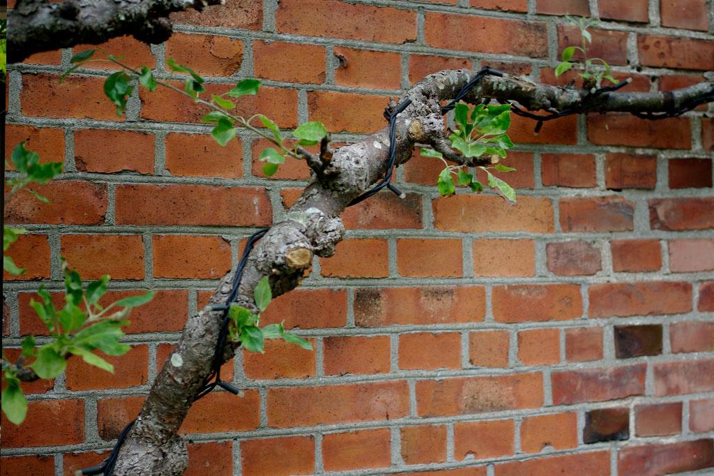 Det spaljerade äppelträdet fanns på plats redan när paret tog över trädgården från Jonas föräldrar.