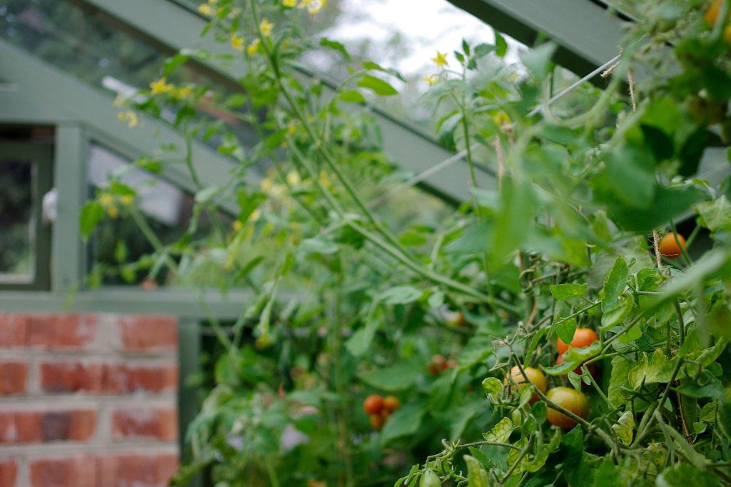 De högväxande tomaterna får bra stöd i växthuset.