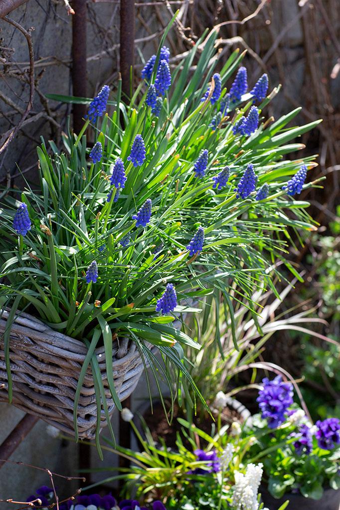 Vårens balkonglåda avslutas i blått med armenisk pärlhyacint. Foto: Annika Christensen