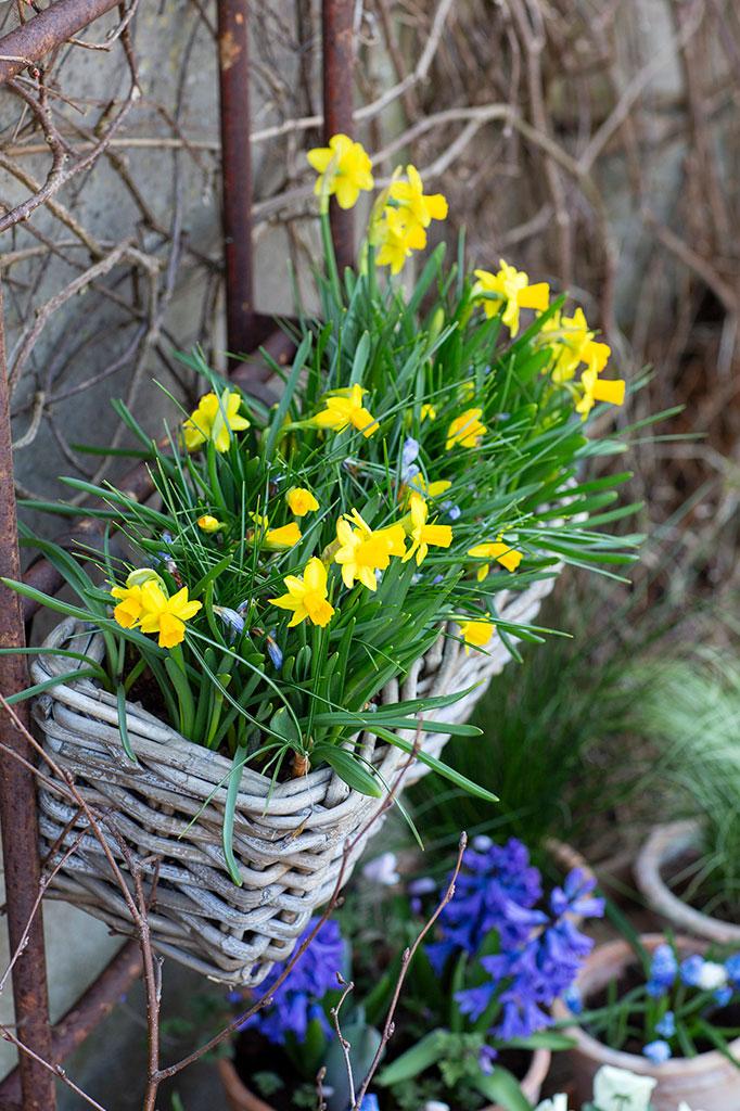 Påsktazett 'Tête-à-Tête' blommar länge som nummer två i ordningen. Foto: Annika Christensen