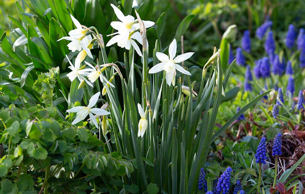 Orkidénarciss 'Thalia'. Foto: Annika Christensen