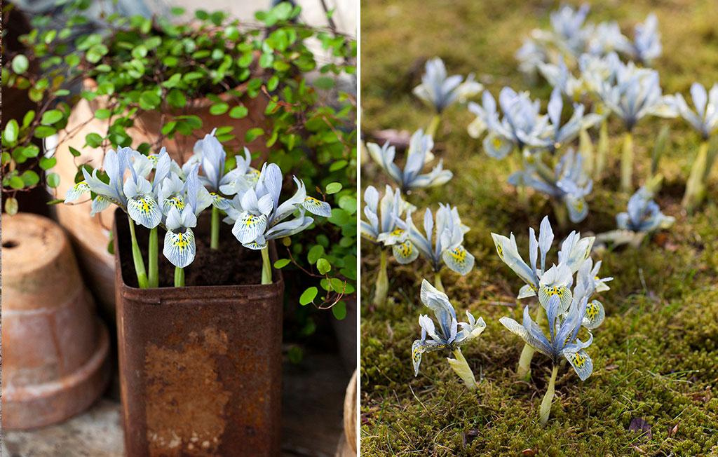 Trädgårdsiris 'Katherine Hodkin' blommar fint både i kruka och i marken. Foto: Annika Chistensen