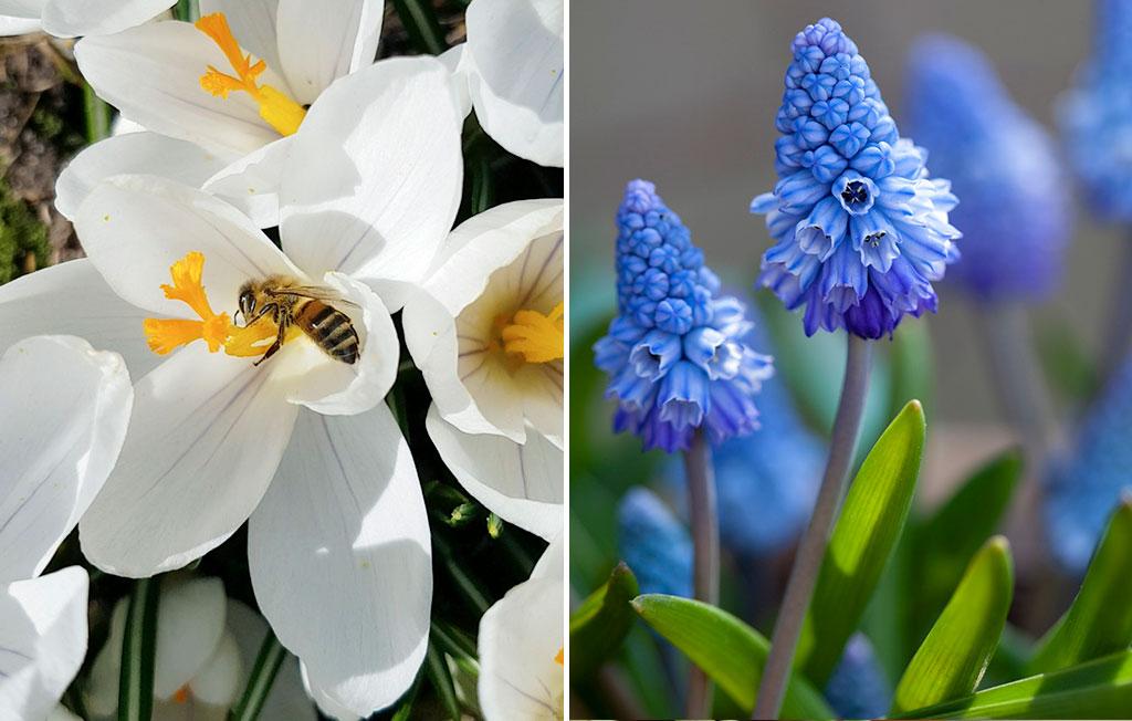 Den snövita krokusen 'Ard Schenk' är mums för hungriga pollinerare. Dvärghyacinten lockar också till sig insekter och är med sin doft en njutning för en odlarvän. Foto: Annika Christensen