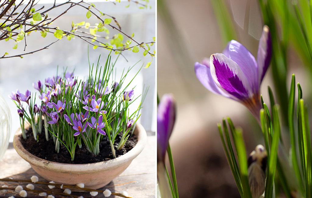 Fascineras av krokus 'Spring Beauty' genom att gå riktigt nära. Foto: Annika Christensen