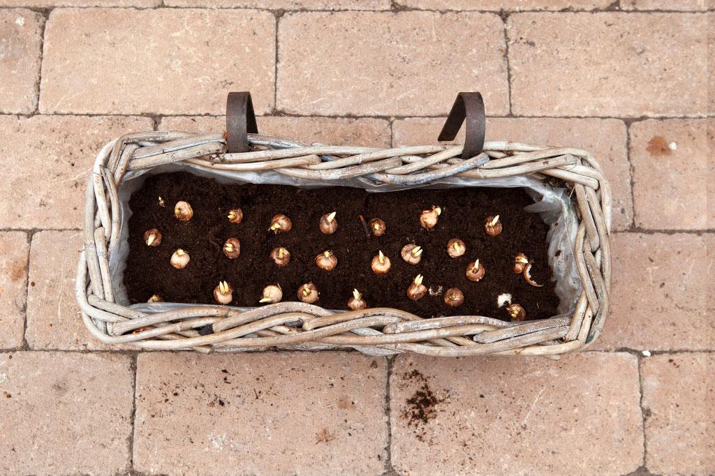 Det tredje lagret består av den minsta och tidigaste höstöken.