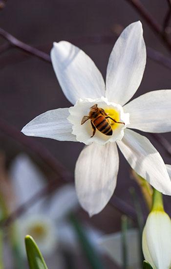 Orkidénarcissen 'Thalia' odlas upp hemma hos Joh och Johanna Huiberts. När narcissen inte blommar kan pollinerare hitta mat i andra blommor. Foto: Annika Christensen