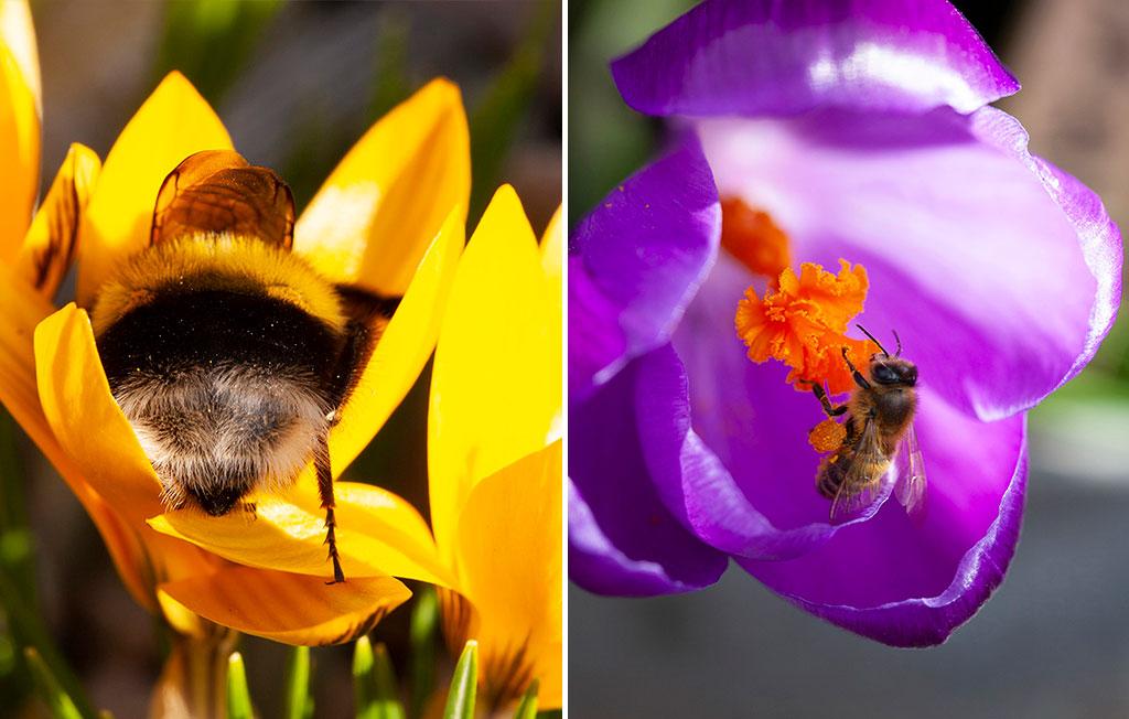 Krokus blommar tidigt i starka färger och är dessutom viktig som första måltid för nyvakna pollinerare. Foto: Annika Christensen