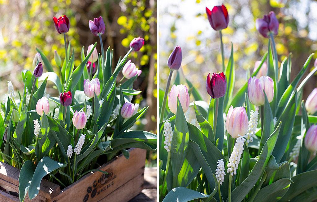 Classic Elegance är som namnet antyder en tidlös kombination av tulpaner och pärlhyacint. Foto: Annika Christensen