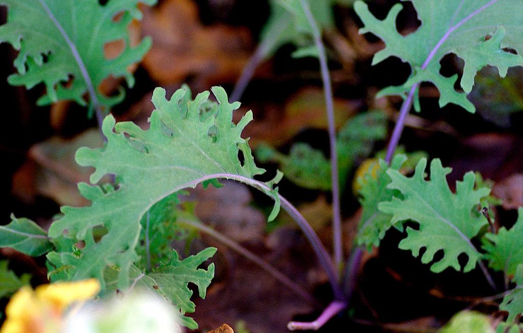 Sibirisk bladraps 'Red Russian' är en köldtålig bladväxt som passar att så året runt. Foto: Lovisa Back