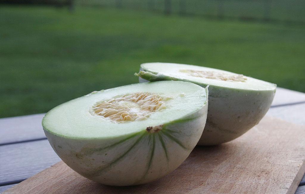 Melonerna har trivts bra i växthuset. Foto: Thérése Larsson
