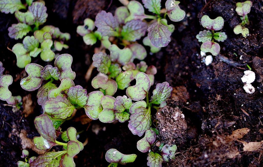 På hösten passar det utmärkt att så snabbväxande och köldtåliga kålväxter som sareptasenap. Foto: Lovisa Back