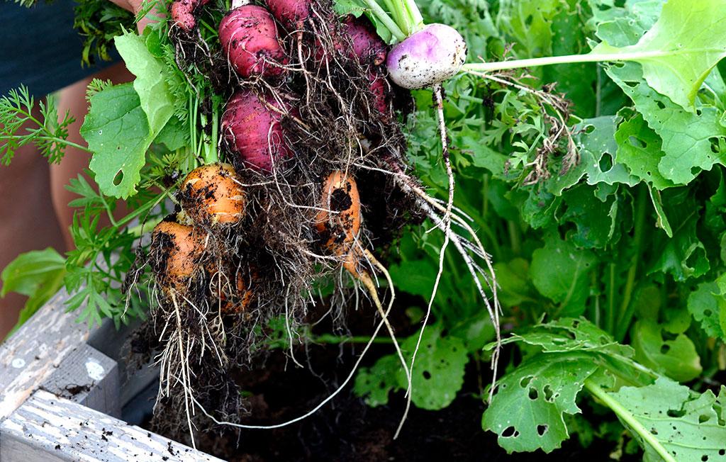 När de första morötterna, rädisorna och majorovorna är skördade, går det utmärkt att så en ny omgång. Foto: Markus Danielsson