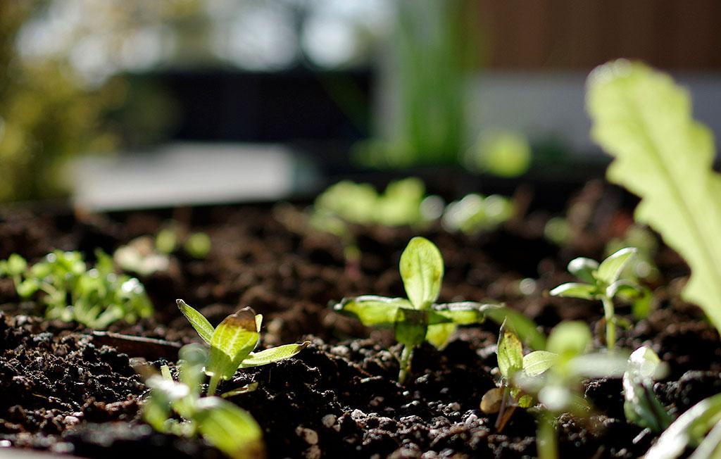 Vårens starka solstrålar kan var minst lika förödande som plötsliga frostnätter. Täck med fiberduk eller hoppas på det bästa! Foto: Lovisa Back
