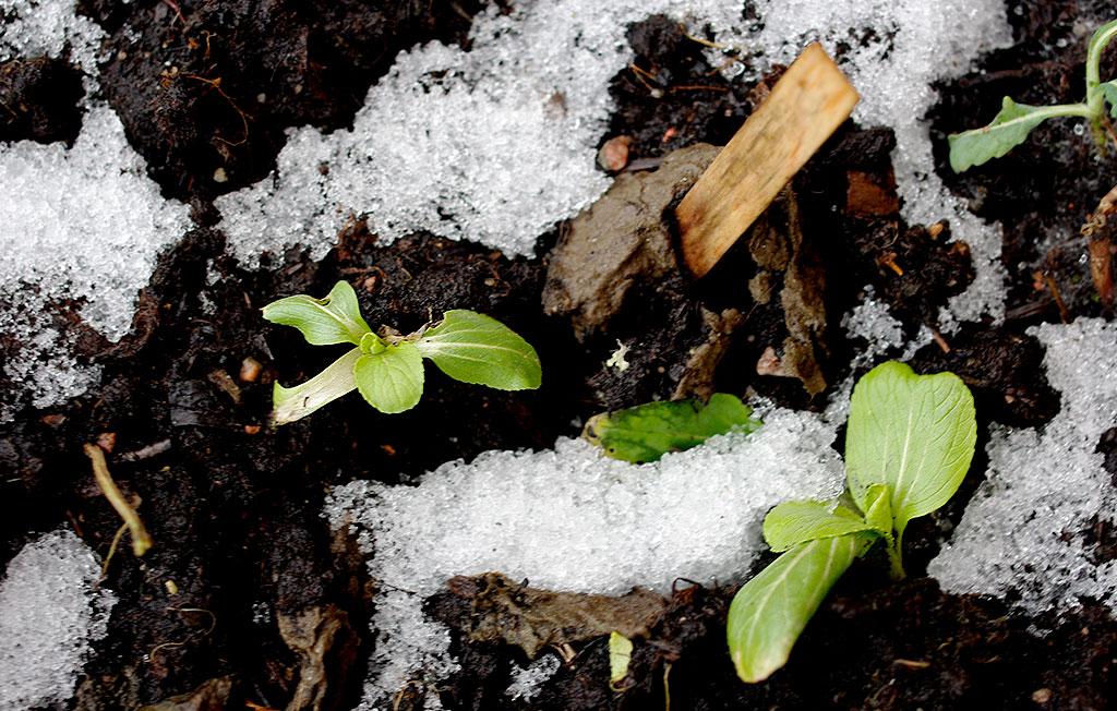 Vintern ser olika ut beroende på var i landet du odlar. Faktum är att ett skyddande snötäcke i många fall kan vara mer gynnsamt för en plantas överlevnad än blöta och barmark. Foto: Lovisa Back