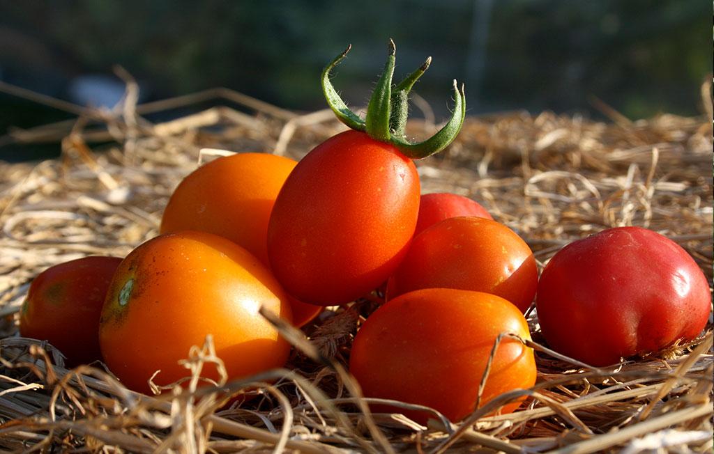 Det har varit ett riktigt tomatår! Foto: Thérése Larsson