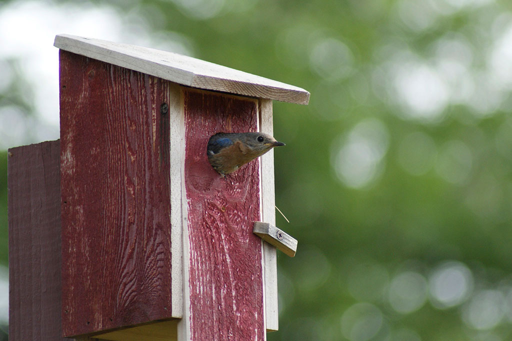 Fågelholken kan monteras på en hög, fristående stolpe.
