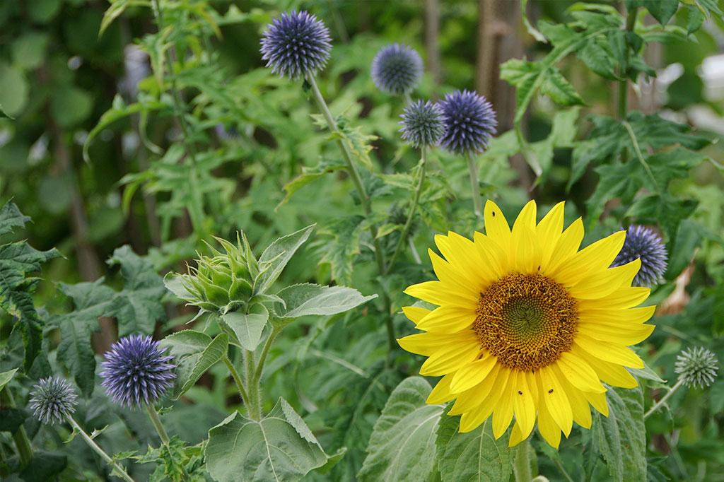 Blå bolltistel är en flerårig blomma som älskas av pollinerare. Den är särskilt vacker tillsammans med solrosen, en ettårig blomma som är enkel att så själv...och som inte helt oväntat brukar växa upp vid fågelbordet.