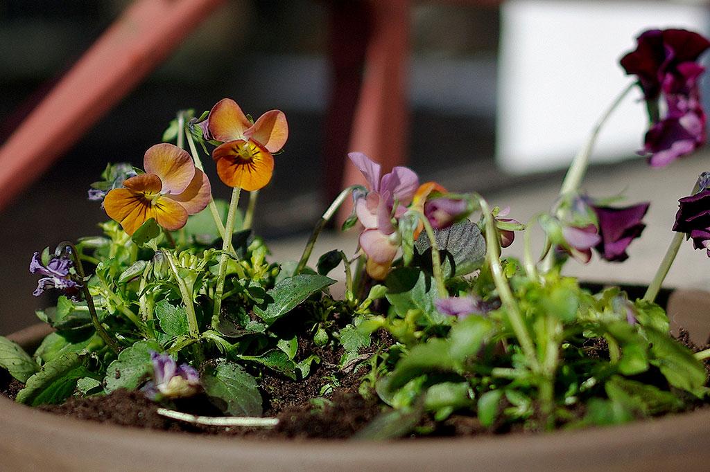 Penséer och violer är härdiga små blommor som klarar en hel del kyla.